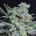 Critical (CBD Seeds) feminizada