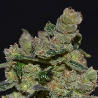 Diesel (CBD Seeds) feminizada