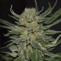 Domina (CBD Seeds) feminizada