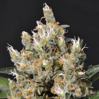 Kali (CBD Seeds) feminizada
