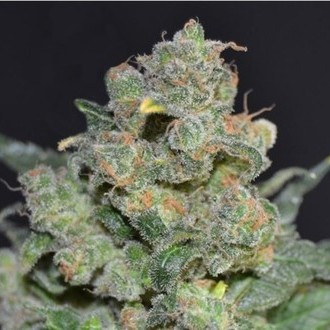 Cheese (CBD Seeds) feminizada
