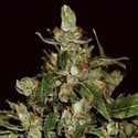 Auto Widow (CBD Seeds) feminizada