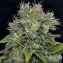 Auto Yumbolt (CBD Seeds) feminizada