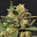 Auto Northern (CBD Seeds) feminizada
