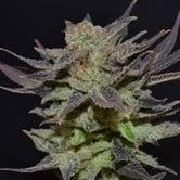 Auto Lavender (CBD Seeds) feminizada