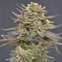 Magma (CBD Seeds) feminizada