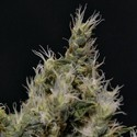 Vanilla Haze (CBD Seeds) feminizada