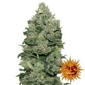 Top Dawg (Barney's Farm) feminizada
