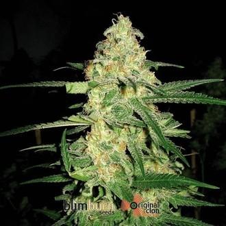 Original Clon (Blimburn Seeds) feminizada