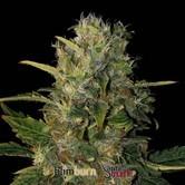 Santa Muerte (Blimburn Seeds) feminizada