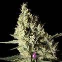 Narkosis (Blimburn Seeds) feminizada