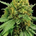 Super Automatic (Blimburn Seeds) feminizada