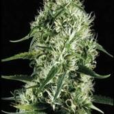 Silver Surfer Haze (Blimburn Seeds) feminizada