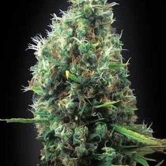 Tijuana (Blimburn Seeds) feminizada