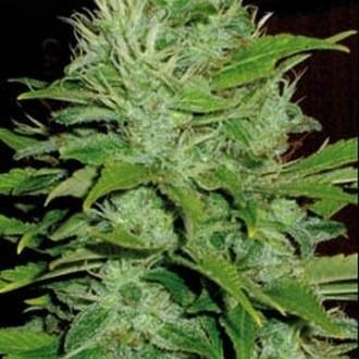 Mango (Blimburn Seeds) feminizada