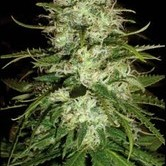 Cr+ (Blimburn Seeds) feminizada