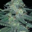 BC Diesel (Blimburn Seeds) feminizada