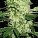 Dama Blanca (Blimburn Seeds) feminizada