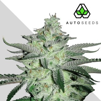 Diesel Berry (Auto Seeds) feminized