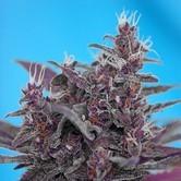 Black Cream Auto (Sweet Seeds) feminizada