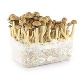 100% Mycelium Kit 'Mexican' (Supa Gro)