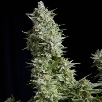 Alpujarreña (Pyramid Seeds) feminizada