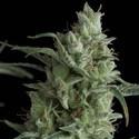 Kryptonite (Pyramid Seeds) feminizada