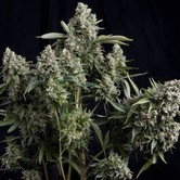 Tutankhamon (Pyramid Seeds) feminized