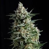 Anesthesia (Pyramid Seeds) feminizada