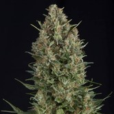 Wembley (Pyramid Seeds) feminizada