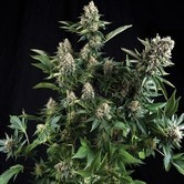 White Widow (Pyramid Seeds) feminizada
