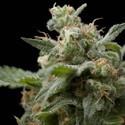 Super Hash (Pyramid Seeds) feminizada