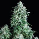 Anubis (Pyramid Seeds) feminizada