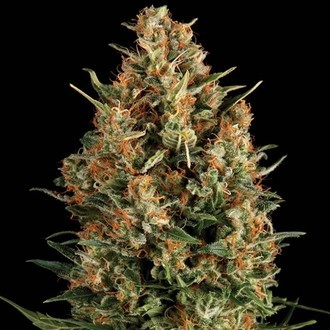 Auto Wembley (Pyramid Seeds) feminizada