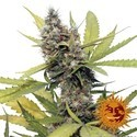 Honey B (Barney's Farm) feminizada