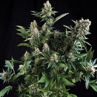 Auto White Widow (Pyramid Seeds) feminizada
