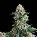 Auto New York City (Pyramid Seeds) feminizada