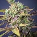 Txomango (Genehtik Seeds) feminizada