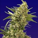 AK Automatic (Spliff Seeds) feminizada