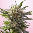 Crystal White (Spliff Seeds) feminizada