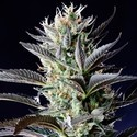 Dutch Blue Automatic (Spliff Seeds) feminizada