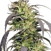 Gold Rush Outdoor (Spliff Seeds) feminizada