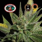 Big Buddha Cheese (Big Buddha Seeds) feminizada