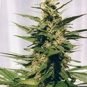 Polm Gold Outdoor (Spliff Seeds) feminizada