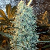 Power Plant (Spliff Seeds) feminizada