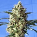 Snow White (Spliff Seeds) feminizada