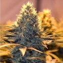 Spliff Cheese (Spliff Seeds) feminizada