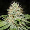 Sweet 'n' Sour Indoor (Spliff Seeds) feminizada