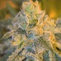 Sweet 'n' Sour Outdoor (Spliff Seeds) feminizada