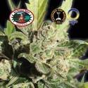Blue Cheese (Big Buddha Seeds) feminizada